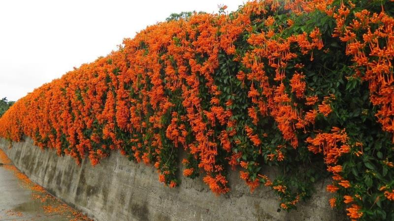 Blooming of Miaoli's flamevine started early this year