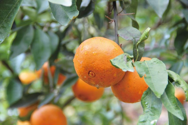 薑麻園 柑橘
