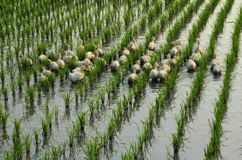 Symbiosis of ducks and rice fields