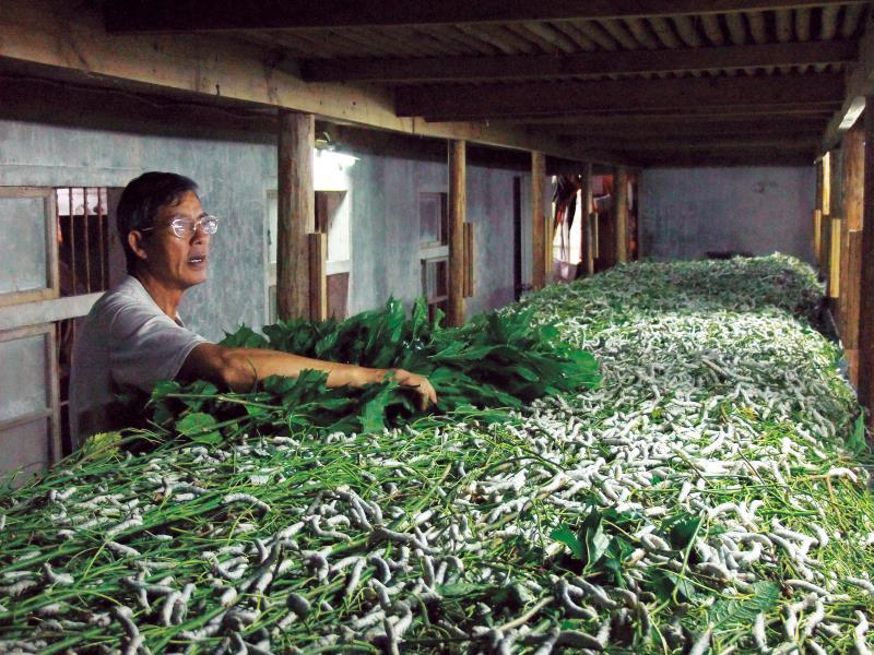 泉明生態教育蠶業農場 養蠶