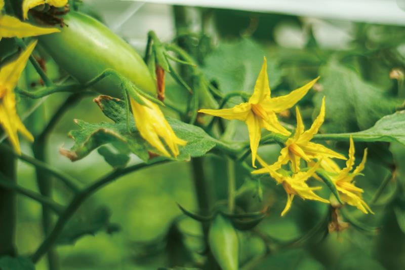 蕃茄的小黃花