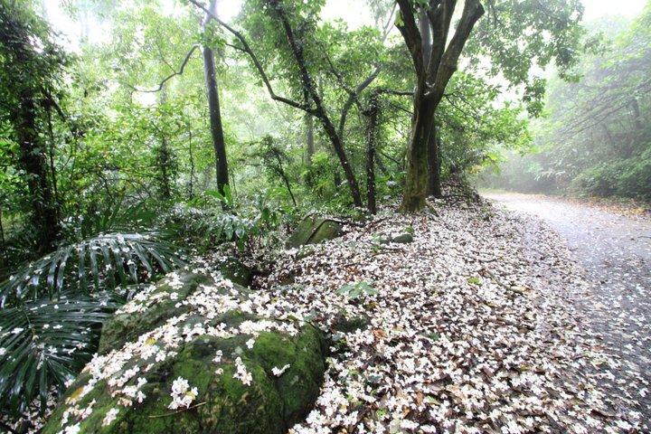 夢幻桐花步道 遍地桐花