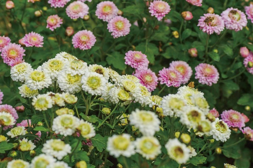 Chrysanthemum and Taro Festival