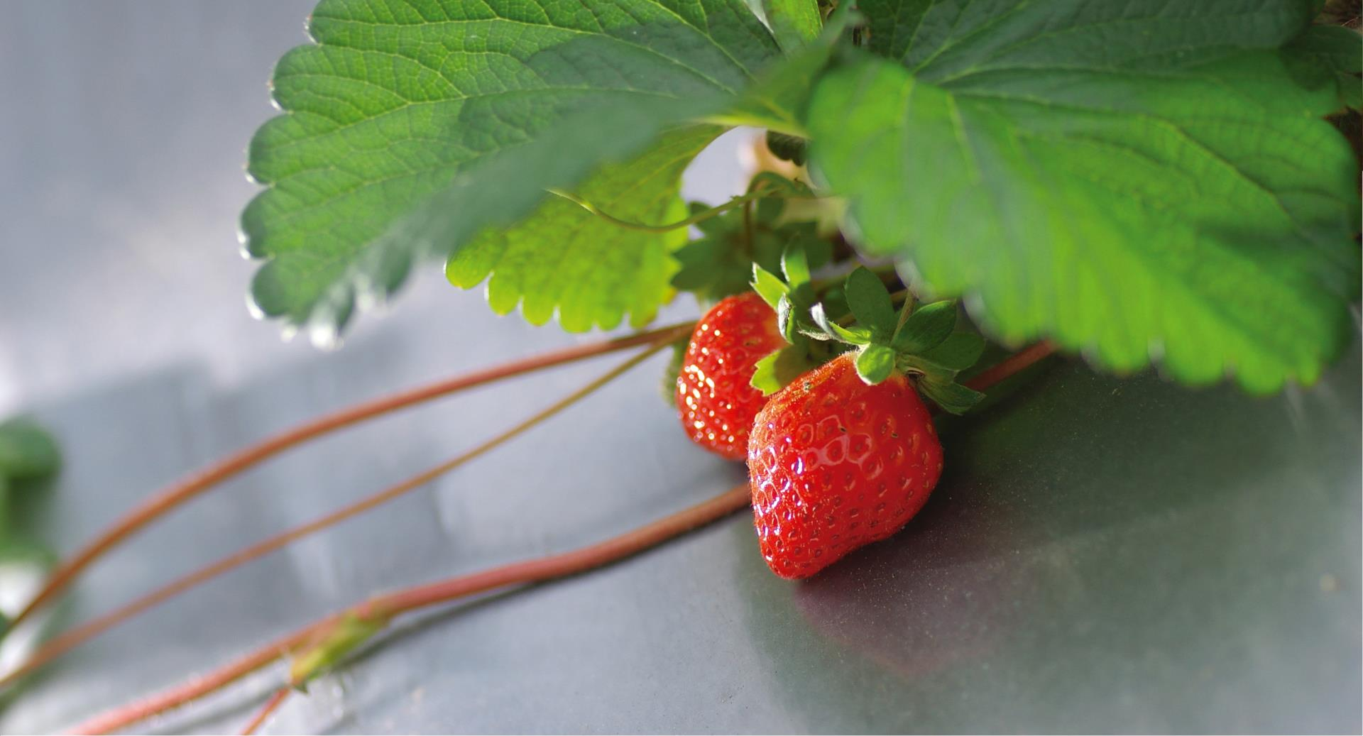 Dahu Strawberry Festival