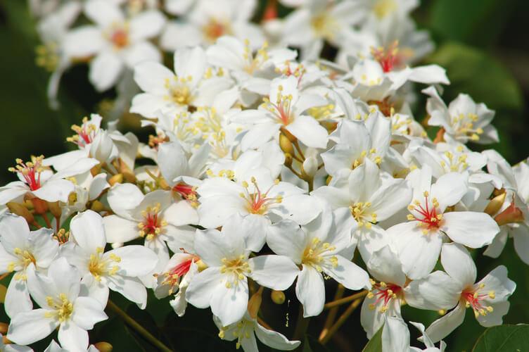 桐の花祭り&桐の花の婚礼