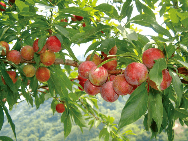 Peach and Plum Festival